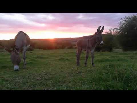 Les ânes de la Famenne en Belgique