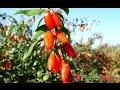 Goji Berry Plantatie Ningxia Tibet Himalaya