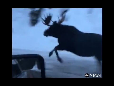 Moose Runs Alongside Car on Montana Highway