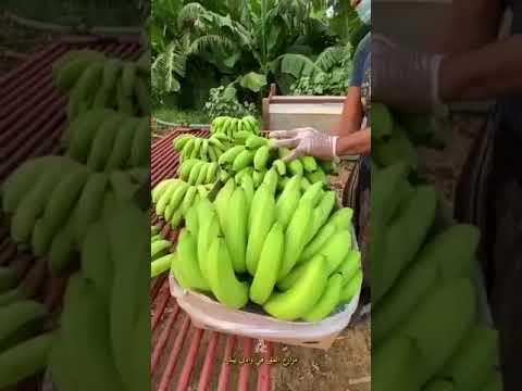 شاهد: مراحل تجهيز الموز الجيزاني للتصدير