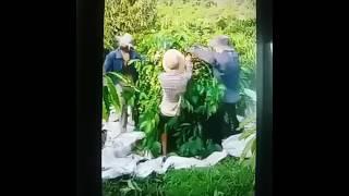 Đề Đóm^^^ 3 chú thanh niên hái cà phê siêu bá đáº...