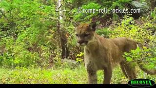 Video Mountain Lions in Action (Sept-Oct, 2017) MP3, 3GP, MP4, WEBM, AVI, FLV November 2017