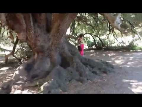 """Incontro col """"Grande Patriarca"""", il più antico albero d'Europa (4000 anni!)"""