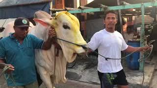 Video Sapi putih 1 ton Desa Lumpur Sindujoyo Gresik idul adha 2018 MP3, 3GP, MP4, WEBM, AVI, FLV Oktober 2018