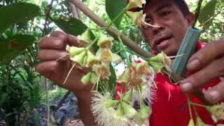 Video Cara muda menyortir bunga. agar produksi jambu madu yg berkualitas, ala saipul MP3, 3GP, MP4, WEBM, AVI, FLV Desember 2018