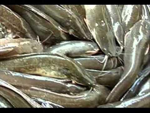 การเลี้ยงปลาแบบเศรษฐกิจพอเพียง