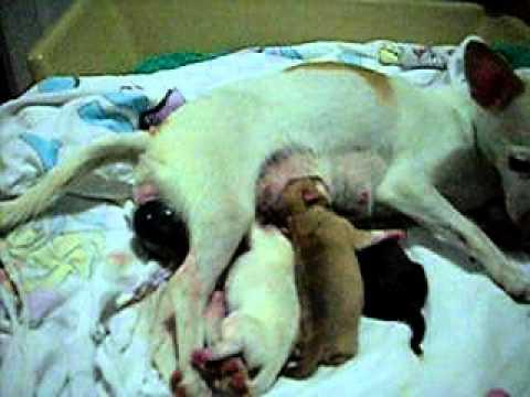 """Chihuahua giving birth 6/7 """"snowflake litter"""" Nov-01-2010"""