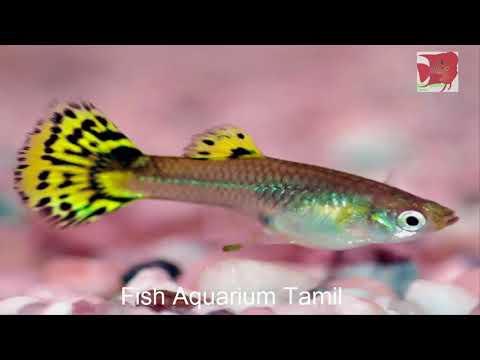 Guppy Fish Information in Tamil / Fish Aquarium Tamil_Akvárium