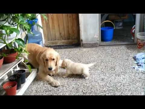 golden retreiver - Mis 7 cachorros Golden Retriever - 27 días. My 7 Golden Retriever puppies - 27 days old.