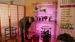 Growing your greens and vegetables using the Anywhere Anytime Garden (c) and the Happy Leaf LED grow light in large...