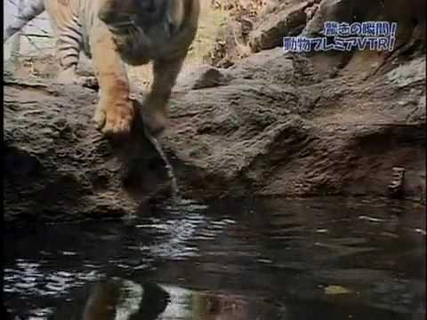 老虎泡溫泉,露出一臉爽快的表情!