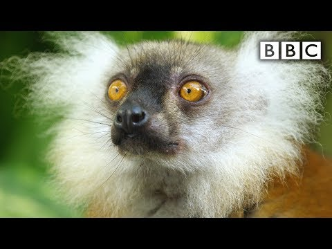 Lemurs Get Stoned Off Millipede Toxins