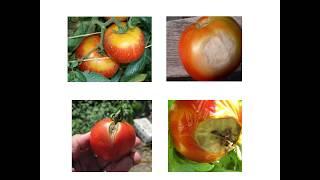 টমেটো (Tomato) উৎপাদন প্রযুক্তি