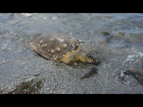 Δύο θαλάσσιες χελώνες Καρέτα Καρέτα νεκρές στην παραλία Ναυπλίου