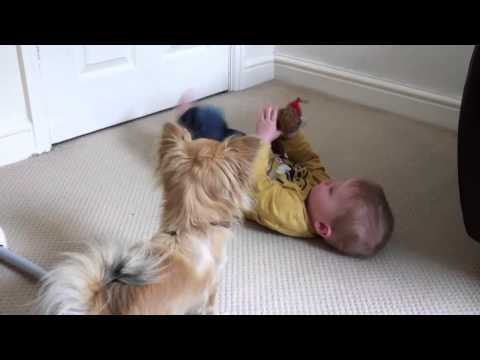 chihuahua playing with baby
