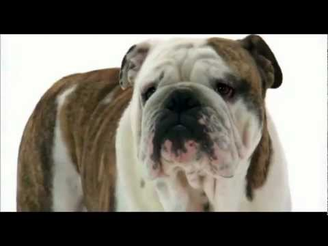 english bulldog amazing dog!