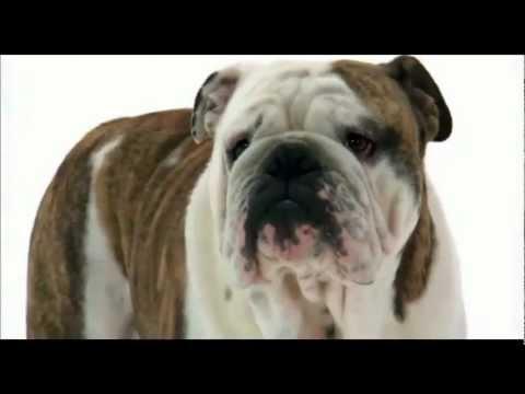 english bulldog amazing dog!