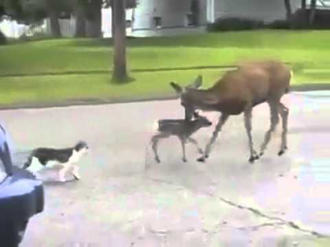 Video deer vs cat nd dog hood voice over download in MP3, 3GP, MP4, WEBM, AVI, FLV January 2017