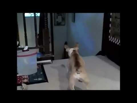 un gatto che fa piangere un cane