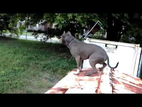 Best Ultimate Pit Bull Protection Guard Dog Attack Trained Family Pitbull K9 Achilles