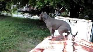 Pokaz ułożenia, tresury i wyszkolenia Pitbulla! Z takim psem można czuć się bezpiecznie!