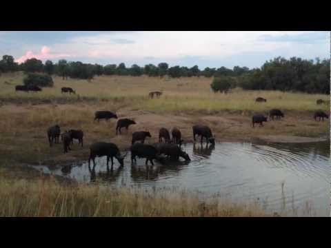 Buffalo - A recent trip to Mabula, South Africa brought with it one of the most incredible experiences of my life. Beautiful. Cruel. Africa.