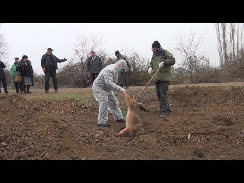Goranboyda çaqqallar kəndə hücum edib (видео)