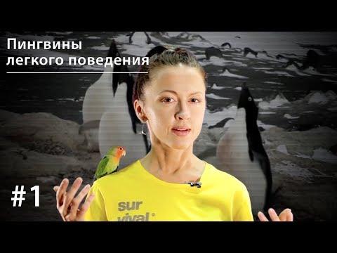 Пингвины легкого поведения: поощрительное спаривание