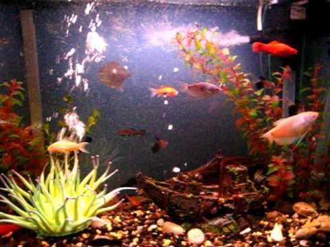 Peces acuario tropical videos videos relacionados con for Peces tropicales acuario