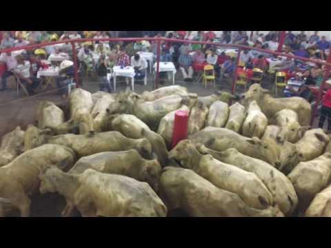 Magno Leilões - Leilao gado de corte para cria recria e engorda em Piracanjuba - Leo Lemes Leiloeiro