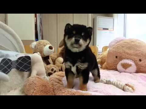 Shiba inu boy puppy waiting for you to do sth :