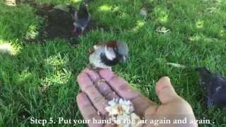 5 Steps Show you How to Attract Wild House Sparrows Come Over on Your Hand