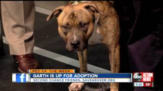 Garth - American Staffordshire Terrier / American Pit Bull Terrier / Mixed Dog For Adoption