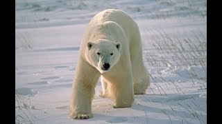 Dramatic footage of close encounter with polar bears in Spitsbergen