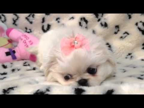 Adorable & Fluffy Pekingnese Puppy !!