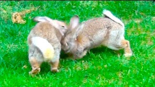 Nonton Two Big Male Rabbits Fighting Film Subtitle Indonesia Streaming Movie Download
