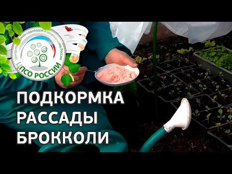 Выращиваем капусту брокколи. Подкормка рассады.