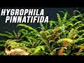 Species Spotlight | Hygrophila pinnatifida