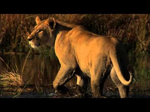 Best African Lioness Mother Tia Vs Silver