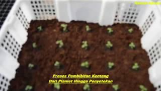 Bertani Kentang Dalam Ruangan