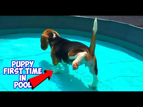 10 week old puppy feels water for the first time! beagle pool party!
