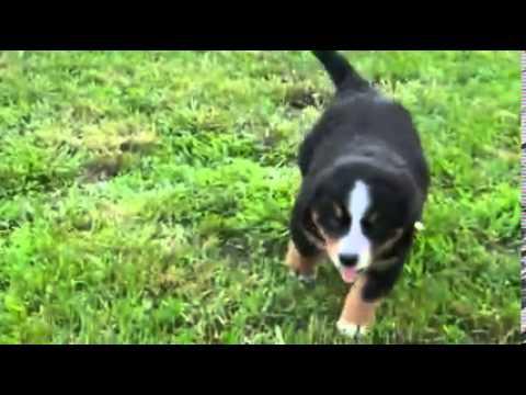 Holland Ohio Puppies