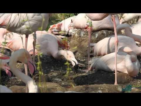 La primavera, i fenicotteri rosa e i rituali di corteggiamento