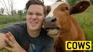 animale faze vaci comice