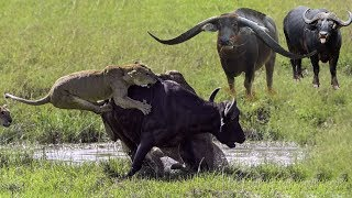Lion vs Buffalo Battle is not never   Buffalo Too Angry Destroy The Strongest Lion in African