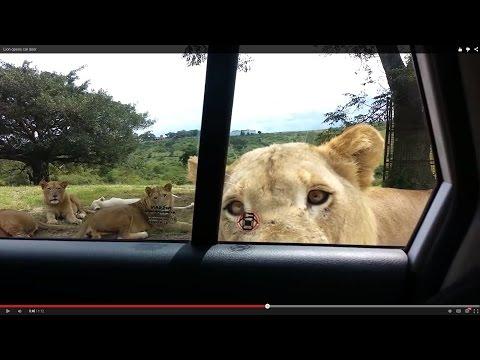 遊客看到獅子群靠近車子時還覺得很興奮,殊不知接下來的幾分鐘會比死還恐怖…