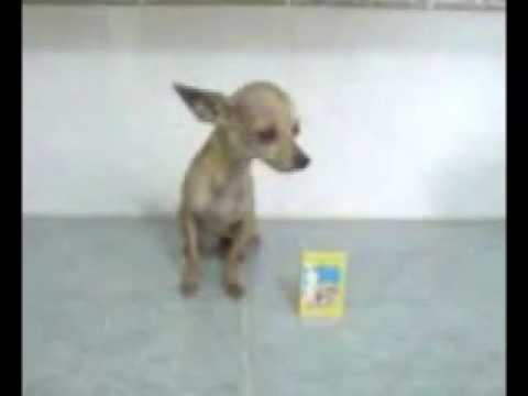 Venta de Chihuahua de Bolsillo Cabeza de Venado – Hembra Adulta Bolsillo
