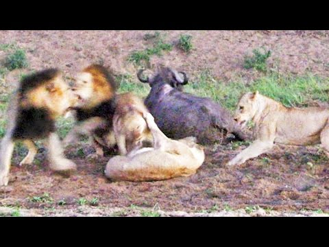 BUFFALO ESCAPES AS LIONS TRY TO CHASE & KILL IT