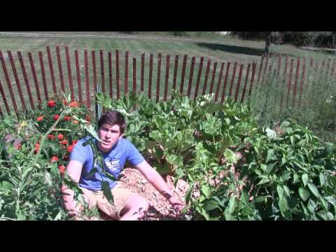 MIgardener | Simple Organic Gardening & Sustainable Living<br />\n<br />\nPublished on Sep 10, 2016<br />\nIn this episode the topic of this complete growing guide is rhubarb. Rhubarb is delicious and very nutritious. Rich in vitamins and minerals it is a wonderful plant to have. It also is a perennial which is even better! Plant it once and forget it. We will be talking about how to grow it when it comes to fertilizing, sunlight, soil type, when to harvest, what to harvest, how to get it ready for winter, and how to pull it out of dormancy in the spring.