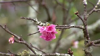 Começa florada das cerejeiras no bosque de Garça